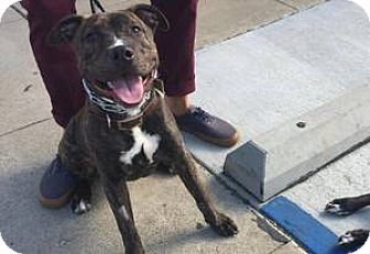 American Staffordshire Terrier Mix Puppy for adoption in Los Angeles, California - Roscoe
