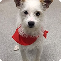 Adopt A Pet :: Comet in Denton - Dallas/Ft. Worth, TX