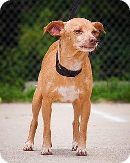 Chihuahua/Dachshund Mix Dog for adoption in Circleville, Ohio - Cleopatra