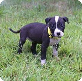 Pit Bull Terrier Puppy for adoption in Framingham, Massachusetts - Thelma Houston