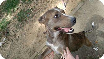 Retriever (Unknown Type) Mix Dog for adoption in Staunton, Virginia - Leah