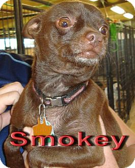 Chihuahua Mix Dog for adoption in Coleman, Texas - Smokey