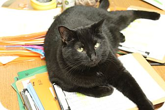 Domestic Shorthair Cat for adoption in Medina, Ohio - Tito