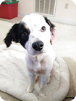 Australian Shepherd Mix Dog for adoption in Richmond, Virginia - Heidi