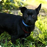 Adopt A Pet :: Raider - Auburn, CA