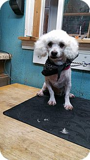 Poodle (Toy or Tea Cup) Dog for adoption in Crump, Tennessee - Pierre