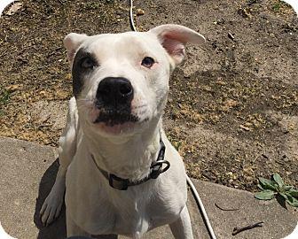 Boxer Mix Dog for adoption in Manhattan, Kansas - Cub