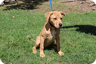Labrador Retriever/American Staffordshire Terrier Mix Puppy for adoption in Conway, Arkansas - Maggie