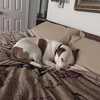 Pit Bull Terrier Mix Dog for adoption in New York, New York - Millie