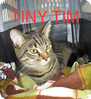 Domestic Shorthair Cat for adoption in detroit, Michigan - TINY TIM