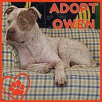 Pit Bull Terrier/Mixed Breed (Medium) Mix Dog for adoption in Sidney, Nebraska - Owen