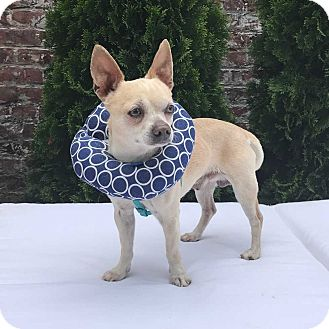 Chihuahua Mix Dog for adoption in New York, New York - Pepe!