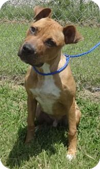 Boxer/American Pit Bull Terrier Mix Puppy for adoption in Olive Branch, Mississippi - Axel