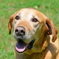 Labrador Retriever Mix Dog for adoption in Annapolis, Maryland - Hunter