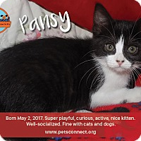 Domestic Shorthair Kitten for adoption in South Bend, Indiana - Pansy