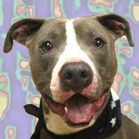 American Pit Bull Terrier Mix Dog for adoption in Cincinnati, Ohio - Brute