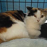 Adopt A Pet :: Lily (foster Nicki K.) Calico - Dallas, TX