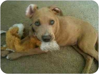 American Pit Bull Terrier/Weimaraner Mix Puppy for adoption in Arlington, Texas - Diego
