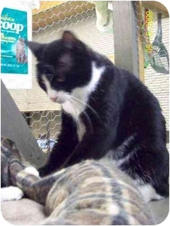 American Shorthair Cat for adoption in Metairie, Louisiana - Jada