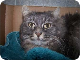 Domestic Mediumhair Cat for adoption in Quilcene, Washington - K.T.