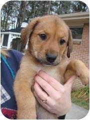 Shepherd (Unknown Type)/Beagle Mix Puppy for adoption in Baltimore, Maryland - Liesl