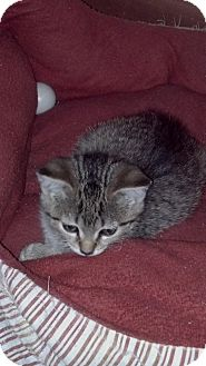 Domestic Shorthair Kitten for adoption in Sterling Hgts, Michigan - Mccoy