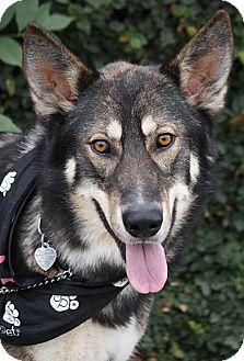 Alaskan Malamute/German Shepherd Dog Mix Dog for adoption in Los Angeles, California - Goliath von Geyer