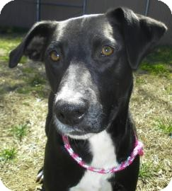 Pointer/Labrador Retriever Mix Dog for adoption in Lincolnton, North Carolina - Sophia
