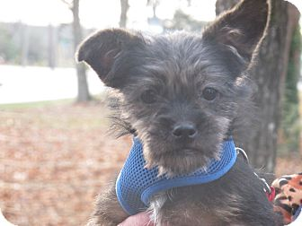 Miniature Schnauzer/Yorkie, Yorkshire Terrier Mix Puppy for adoption in Beacon, New York - Simone