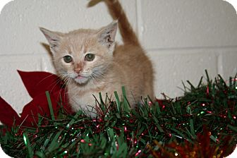 American Shorthair Kitten for adoption in Foster, Rhode Island - Tinsel