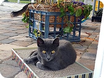 Russian Blue Kitten for adoption in Tampa, Florida - Woody