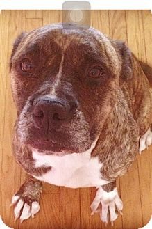 Boxer/Staffordshire Bull Terrier Mix Dog for adoption in Los Angeles, California - DAISY MAE