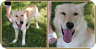 Labrador Retriever Mix Dog for adoption in Kirkland, Quebec - Ricki