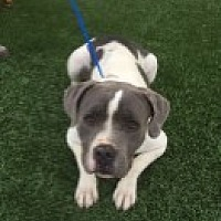 Pit Bull Terrier Mix Dog for adoption in Las Vegas, Nevada - Bella