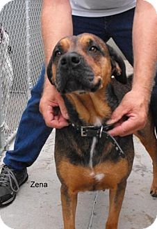 Shepherd (Unknown Type)/Rottweiler Mix Dog for adoption in Napoleon, Ohio - Zena