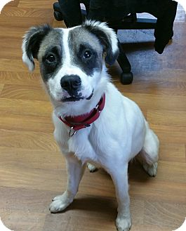Boxer/St. Bernard Mix Dog for adoption in Lisbon, Ohio - Jingo- ADOPTED!!