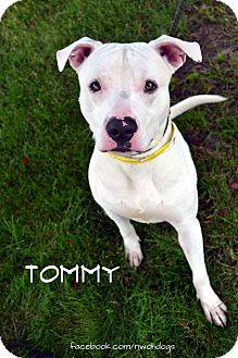 Pit Bull Terrier Mix Dog for adoption in Toledo, Ohio - Tommy