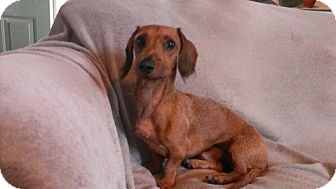 Dachshund Dog for adoption in Toronto, Ontario - Stretch