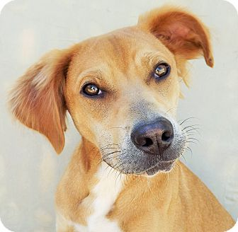 Shar Pei/Hound (Unknown Type) Mix Dog for adoption in Fredericksburg, Texas - Chandler