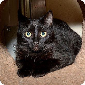 Domestic Shorthair Cat for adoption in Wilmington, Delaware - Herbie