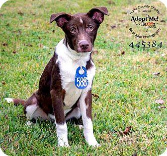 Labrador Retriever Mix Puppy for adoption in Boston, Massachusetts - Diez