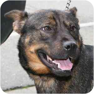 Norwegian Elkhound Mix Dog for adoption in Berkeley, California - Cassie