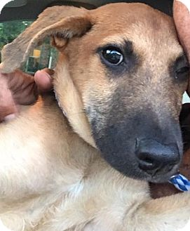Black Mouth Cur/Rhodesian Ridgeback Mix Puppy for adoption in Houston, Texas - Cooper