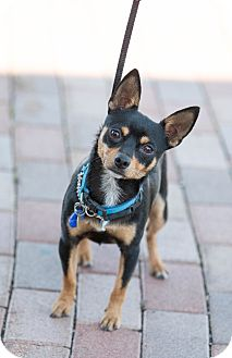 Miniature Pinscher Dog for adoption in Syracuse, New York - Mouse