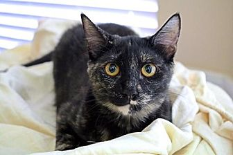 Domestic Shorthair Cat for adoption in Euless, Texas - Sophie