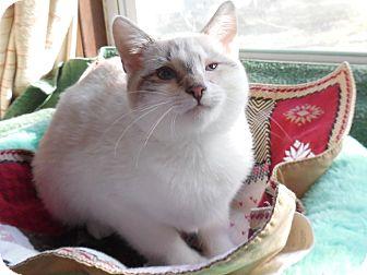 Siamese Kitten for adoption in Media, Pennsylvania - Maui