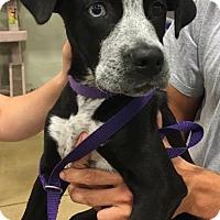 Adopt A Pet :: YellowTail - Gainesville, FL