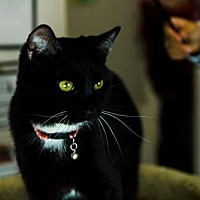 Domestic Shorthair Cat for adoption in Napa, California - Vacaville - Lil Man