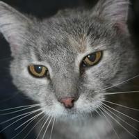 Adopt A Pet :: Miss Kitty - Potsdam, NY