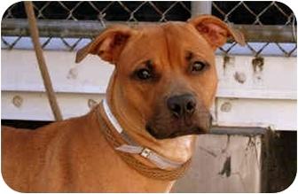 American Staffordshire Terrier/Labrador Retriever Mix Dog for adoption in New York, New York - Roxie